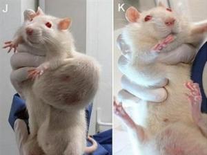 Ratas con tumores