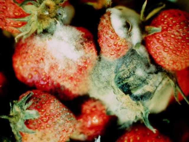 Fresa infectada por Botrytis cinerea