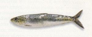 AAA. sardina, una