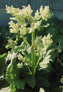 R. palmatum