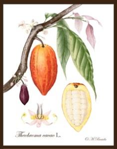 Theobroma-cacao-by-OM-Braida