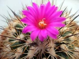 Flor de Cactáceas