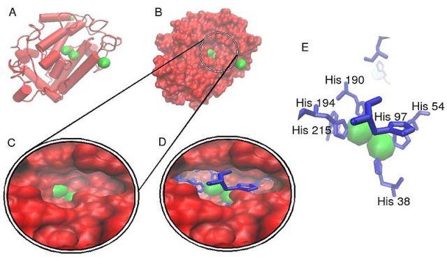 Estructura cristalina de polifenolxidasa