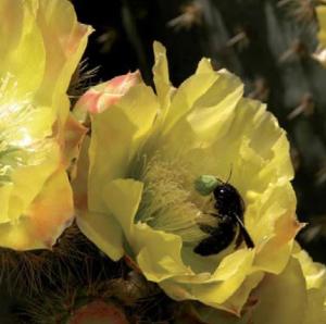 Opuntia ficus indica (higo chumbo) siendo polinizado