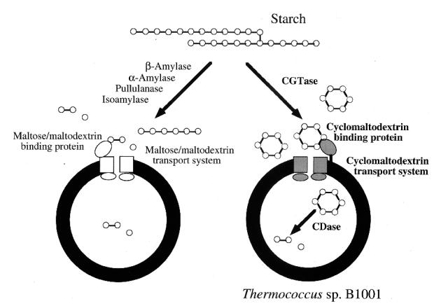 Mecanismos de degradación del almidón. (Izquierda: Lactobacillus. Derecha: Thermococcus)
