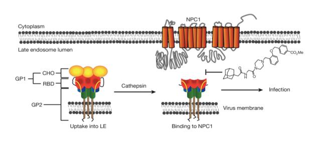 Modelo propuesto para la infección por Ébola a través de la proteína NPC1 y punto de acción del inhibidor descubierto.