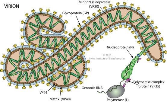 Morfología del Ébola con la glicoproteína