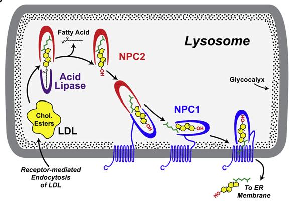 Mecanismo de transporte lipídiico a través de NPC1 y NPC2