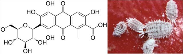 La estructura química del ácido carmínico consiste de un núcleo de antraquinona enlazado a una unidad de glucosa.