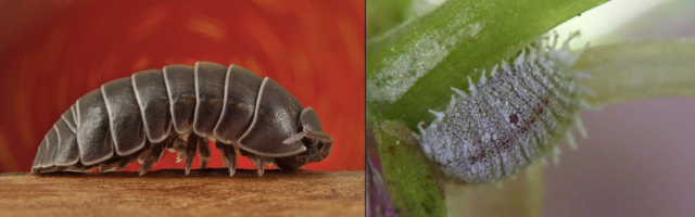 Izq.: Oniscidea: Der.: Dactylopius coccus.