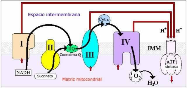 Participación de la coenzima Q10 (ubiquinona) en la cadena de transporte de electrones