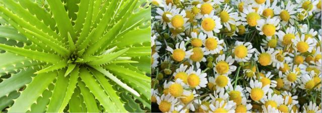 Aloe vera (izquierda) y camomila (derecha)