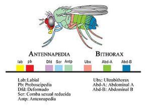 Complejo homeótico de Drosophila melanogaster