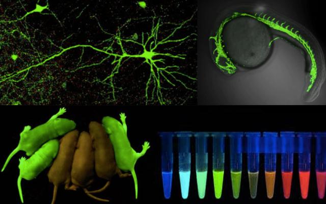 Neuronas, C. elegans y ratones transgénicos marcados con la GFP. Otras proteínas fluorescentes.