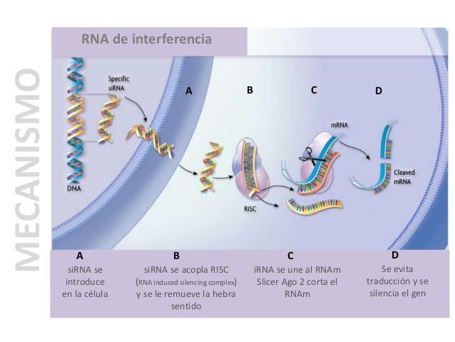 silenciamiento-de-genes-mediante-rna-de-interferencia-7-638