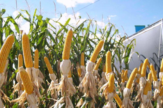 ciencia_colombia_ciat_ICAinvestigacion_-universidad-nacional_maiz_colciencias_biotecnologia_organismos-geneticamente-modificados_cambio-climatico.jpg